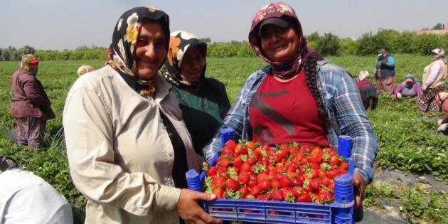 Kadın işçiler 1 Mayıs''ı tarlada çilek toplayarak geçirdi