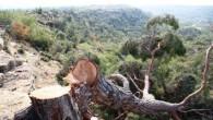 Ağaç katliamını tek başına yapmamış