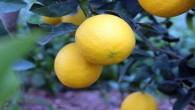 Koronavirüs, limon fiyatlarını fırlattı