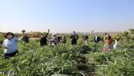 Mezitli'de korona günlerinde enginar hasadı