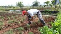Gönüllüler, Mezitli Belediyesi Aşevi için sebze üretimine devam ediyor