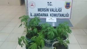 Saksıda uyuşturucu yetiştirirken yakalandılar