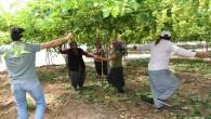 Erken üzüm hasadına göbekli kutlama