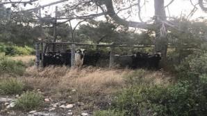 Mersin'den çalınan keçiler Karaman'da mezbahanede kesilmiş halde bulundu