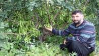 Keçiboynuzunun Mersin'de ilk düzenli bahçeleri kuruldu