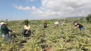 Mezitli'nin üretici kadınları enginar hasadı yaptı