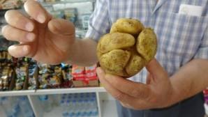 Yumruk görünümlü patates şaşırttı