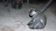 Alkol bağımlısı olan ve 1 kişiyi öldürüp, 249 kişiyi yaralayan maymuna ömür boyu hapis cezası