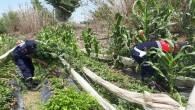 Mersin'de 11 bin 115 kök kenevir bitkisi ele geçirildi