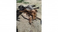 Tarsus'ta 20 küçük baş hayvan telef oldu