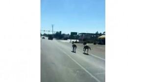 Kara yolunda koşan atlar görenleri şaşırttı