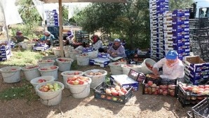 Köylülerin yeni ihracat kapısı turfanda bodur elma