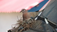 Uğruna kontak kapatılan kumru yuvasındaki yavrular yumurtadan çıktı