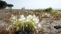 Kum zambakları Akdeniz Belediyesinin koruması altında