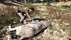 Ölüme terk edilen atları, hayvan polisi kurtardı