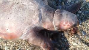 Caratta Caretta boynunda iple sahile vurdu