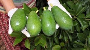 Avokado yağı için AR-GE çalışması