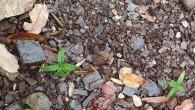 Evinin bahçesinde kenevir yetiştirmiş