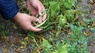Dolu yağışı kışlık sebzelere zarar verdi