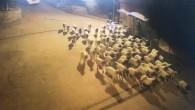 Hayvanların dışkılarını takip ederek hırsızları yakaladılar