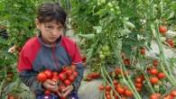 Sokağa çıkma kısıtlaması kalktı domates üreticisinin yüzü güldü