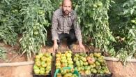 Asırlık tohumla yerli domates yetiştiriyor