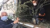 Silifke'de çiftçilere 25 bin zeytin fidanı dağıtıldı