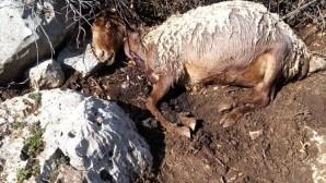 Başıboş köpekler üç koyunu telef etti