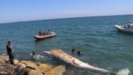 Dev balina gemi çarpması sonucu ölmüş
