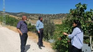 Mut'ta yetiştirilen Antep Fıstığı'nda 5 bin ton rekolte bekleniyor