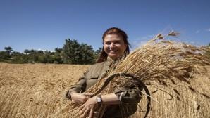 Silifke'de ata tohumu sarı buğdayın ikinci hasadı yapılıyor