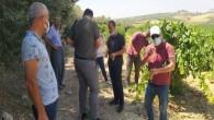 Tarsus'ta üzüm kesimi başladı