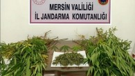 Mersin'de 57 kök kenevir bitkisi ele geçirildi