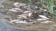 Bozyazı'da balık ölümleri tedirgin etti