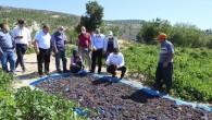 Gülnar'da kişniş üzümü hasadı başladı