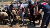 Tarsus'ta çalınan hayvanlar Adana'da bulundu